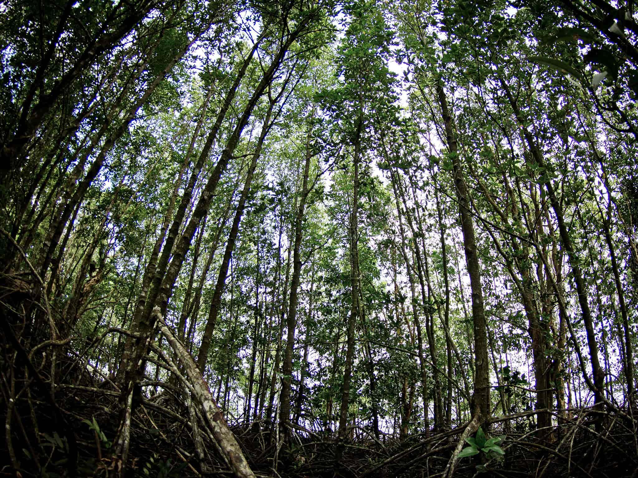 mangroveforesttop